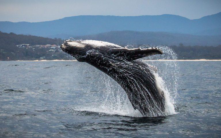 Whale Breach Eden NSW.