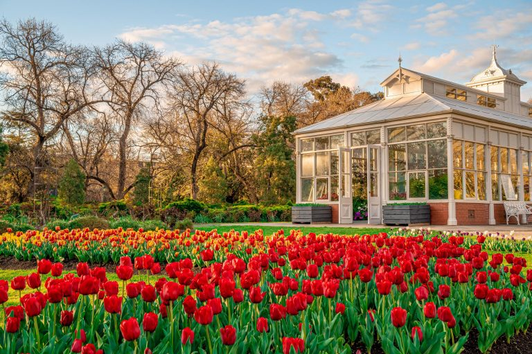Bendigo Tulips
