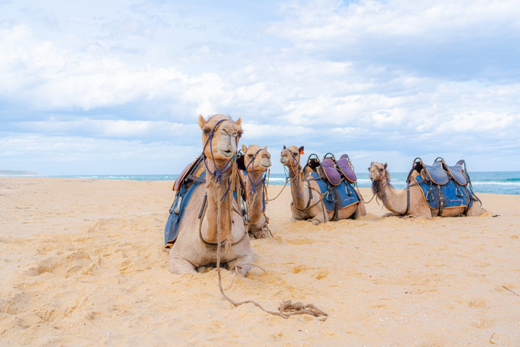 Camel Beach Ride Lakes Entrance