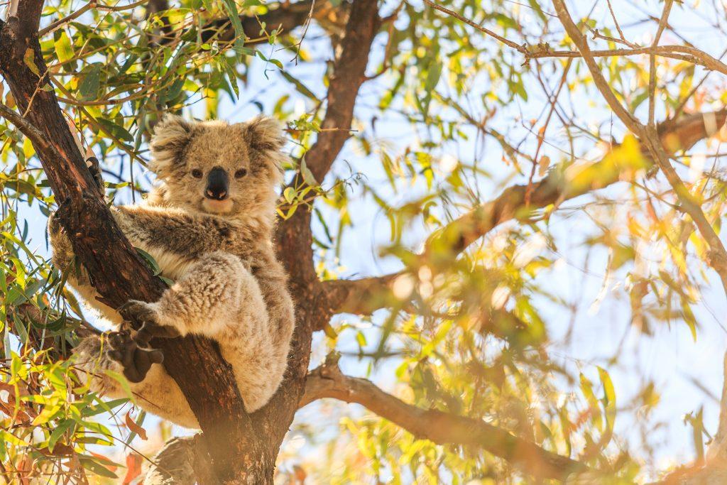 Koala on Raymond Island