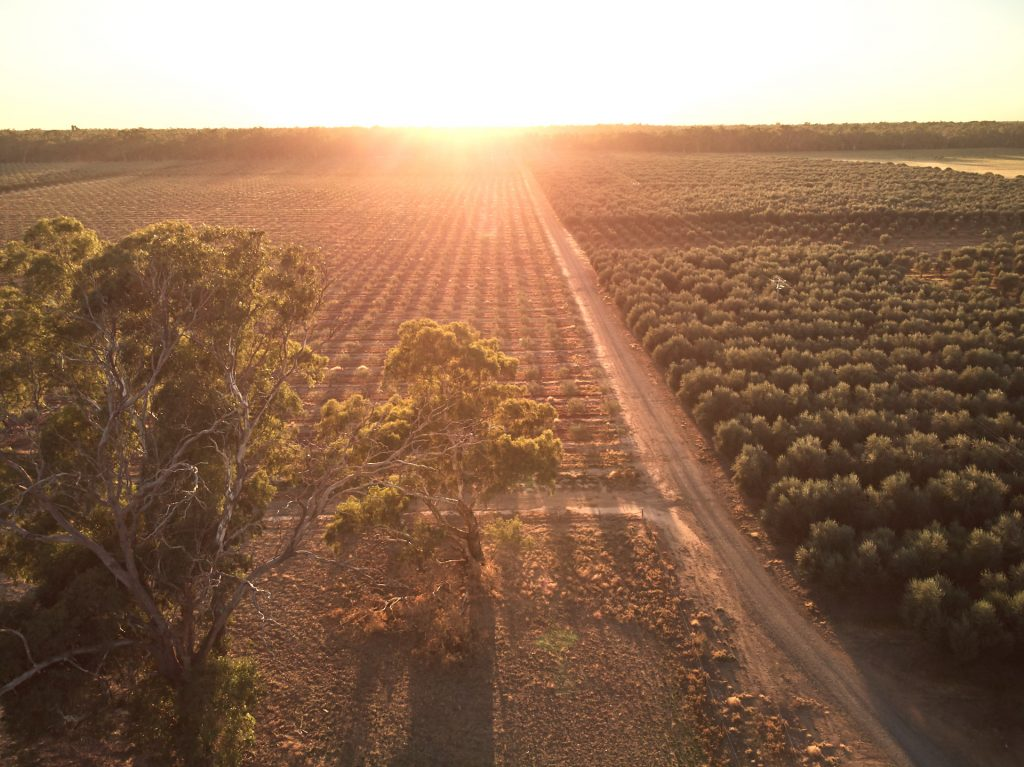 Fruit orchards in Sun Country On the Murray